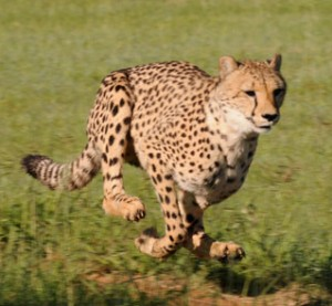 Pursuing Business to Business Leads Like a Cheetah image cheetah running 300x277